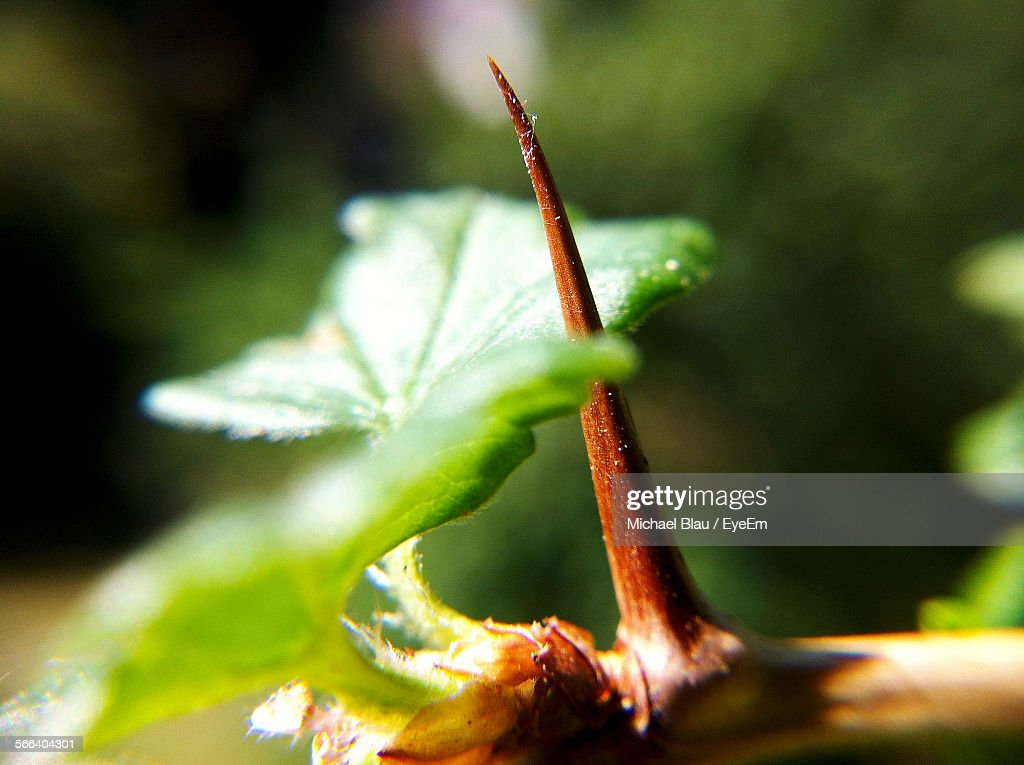 Close-Up Of Thorn And Leaves On Plant