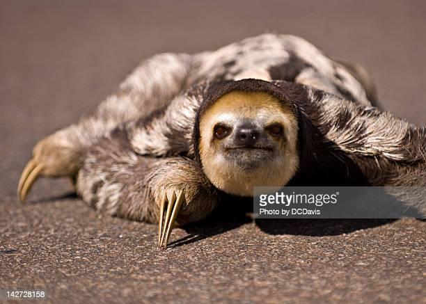 Close-up of three-toed sloth