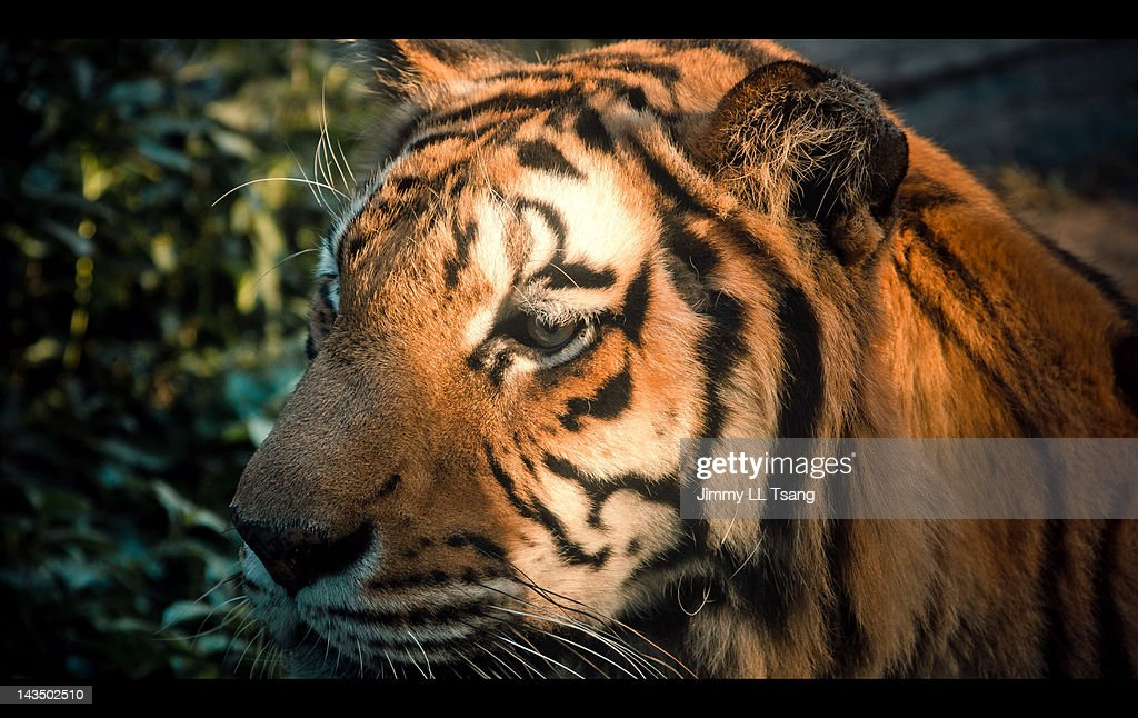 Close-up of tiger face : Stock Photo