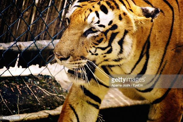 Close-Up Of Tiger In Zoo