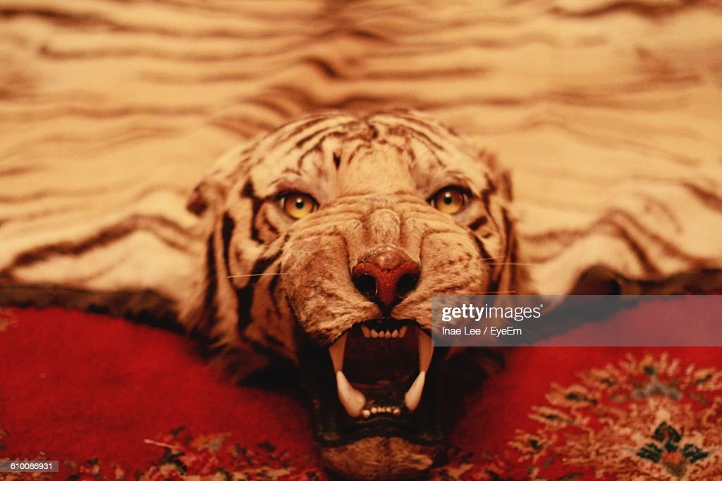 Close Up Of Tiger Skin Rug