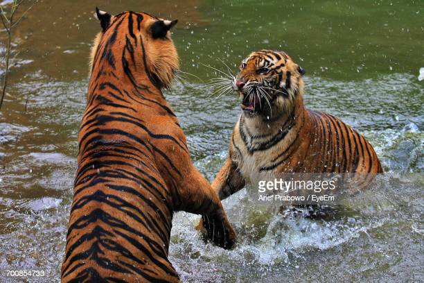 Close-Up Of Tigers In Lake During Winter