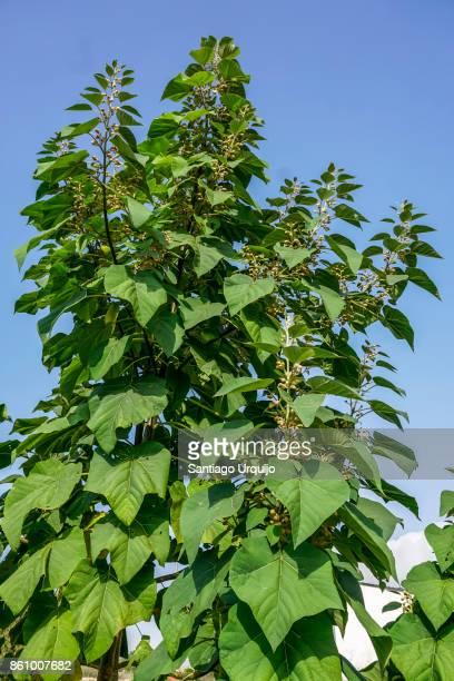 Close-up of tobacco tree (Nicotiana glauca)