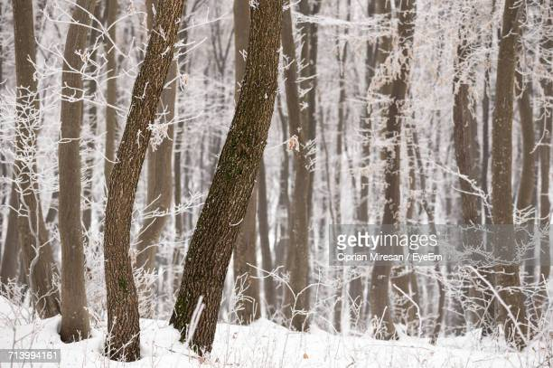 Close-Up Of Trees In Forest During Winter