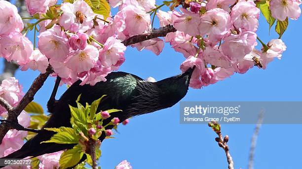 Close-Up Of Tui Bird On Pink Flowering Tree Against Sky