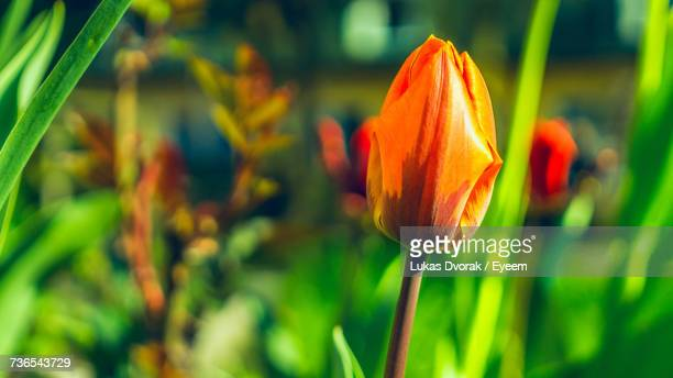 Close-Up Of Tulip Blooming Outdoors