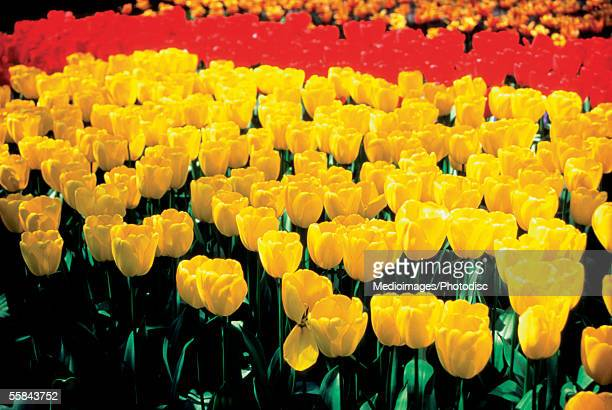 Close-up of Tulips in a field, Leiden, Netherlands