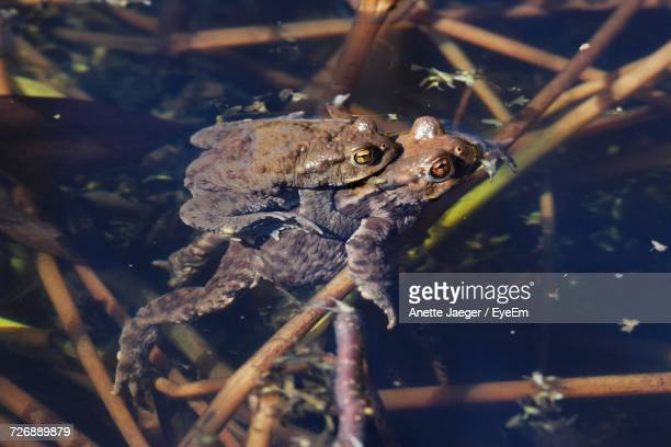 Close-Up Of Two Frogs Mating
