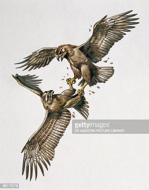 Closeup of two golden eagles fighting