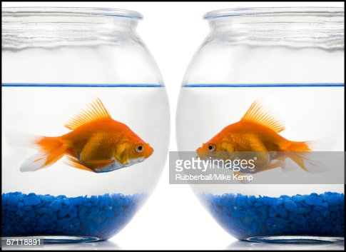 Close-up of two goldfish in fishbowls : Stock Photo