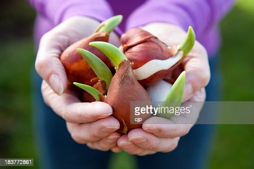 Close-up of two hands holding a bunch of tulip bulbs