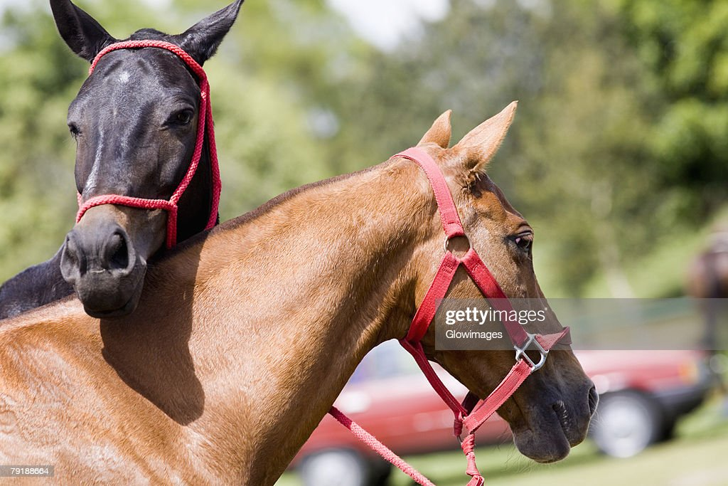 Close-up of two horses wearing bridles : Foto de stock