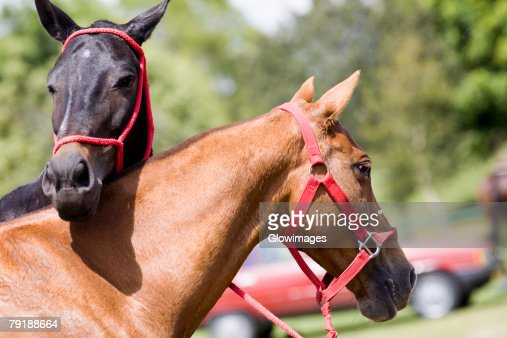 Close-up of two horses wearing bridles : Stock Photo