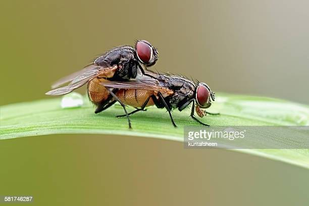 Close-Up Of Two Houseflies Mating on leaf
