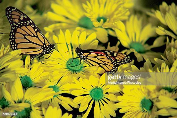 Close-up of two Monarch Butterflies (Danaus plexippus ) on daisies