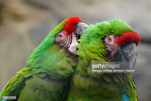 Close-Up Of Two Parrots