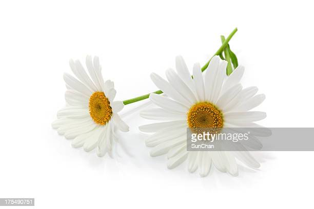 Close-up of two white daisies with stems on white background