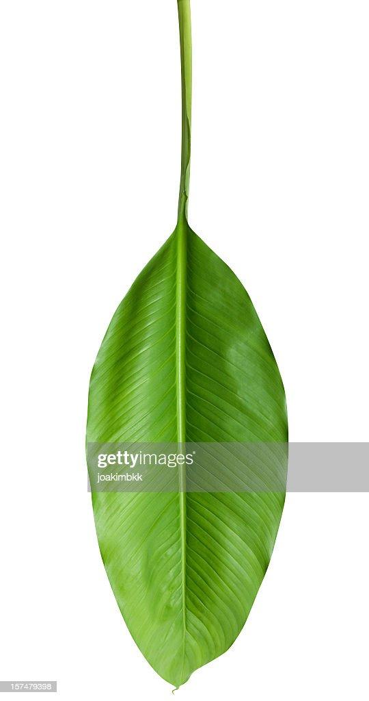 Exotique Feuille verte, isolé sur blanc avec un Tracé de détourage : Photo
