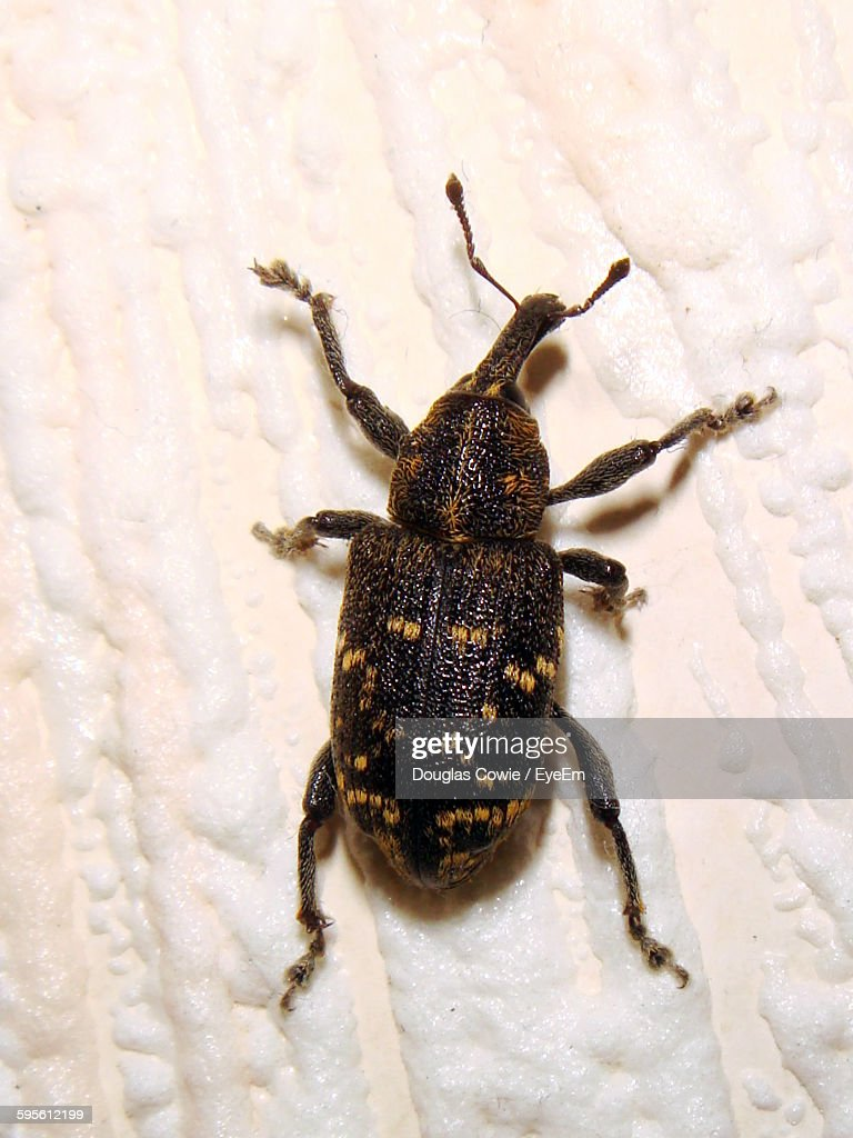 Close-Up Of Vine Weevil On Wall