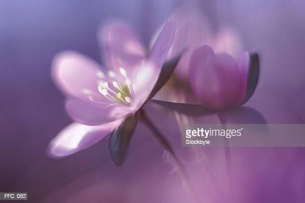 Close-up of violets