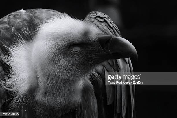 Close-Up Of Vulture At Zoo