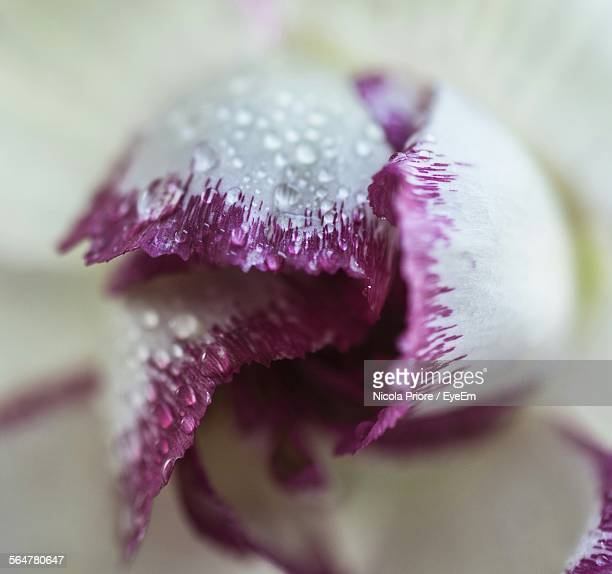 Close-Up Of Water Drops On Carnation - Flower Blooming Outdoors