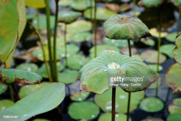 Close-Up Of Water Drops On Lotus Leaves