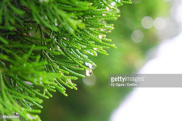 Close-Up Of Water Drops On Pine Tree