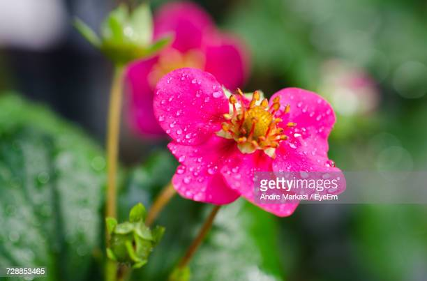 Close-Up Of Water Drops On Pink Flower Blooming Outdoors
