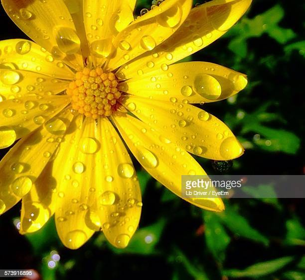 Close-Up Of Water Drops On Yellow Flower
