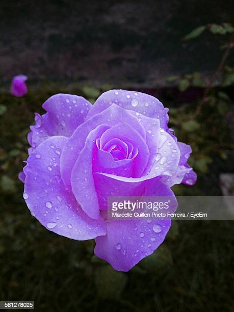 Close-Up Of Waterdrops On Purple Rose