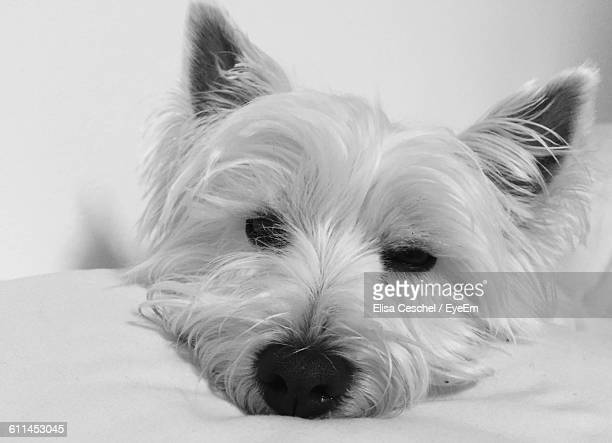 Close-Up Of West Highland White Terrier Resting On Bed