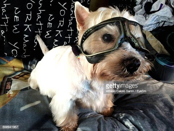 Close-Up Of West Highland White Terrier Wearing Flying Goggles