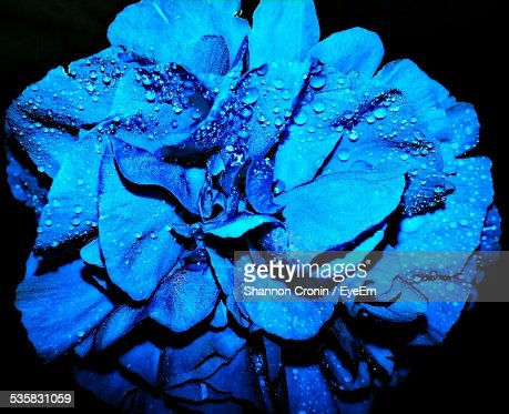 Close-Up Of Wet Blue Flower Blooming Against Black Background