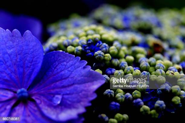Close-Up Of Wet Blue Hydrangea