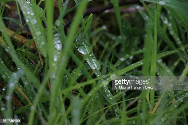 Close-Up Of Wet Grass During Monsoon