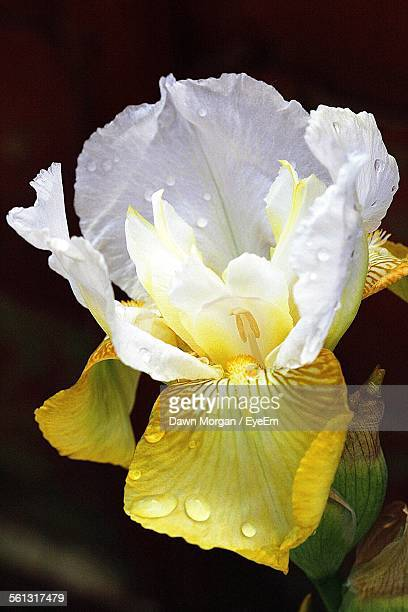 Close-Up Of Wet Iris Flower In Back Yard