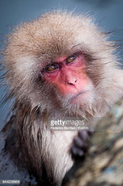 Close-Up Of Wet Monkey Looking At Camera During Winter