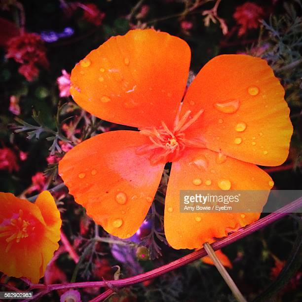 Close-Up Of Wet Orange Flower Blooming In Forest During Monsoon