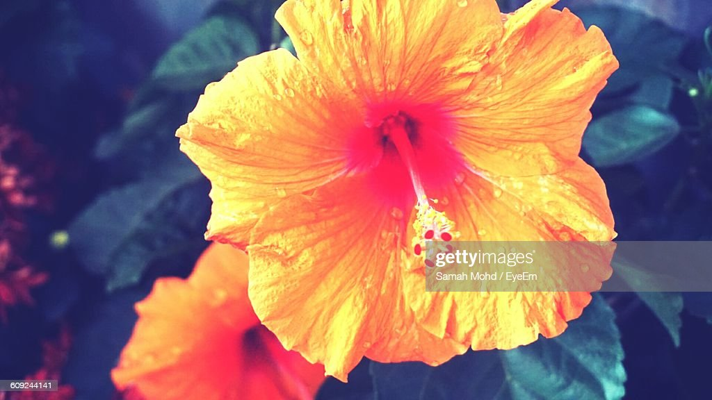 Close-Up Of Wet Orange Hibiscus Blooming Outdoors
