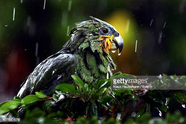 Close-Up Of Wet Parrot On Tree During Monsoon