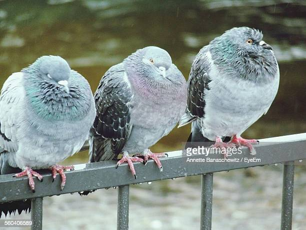 Close-Up Of Wet Pigeons On Railing In Rain