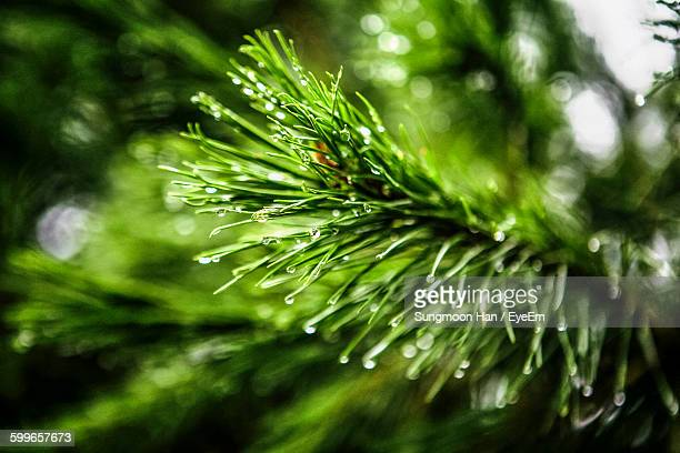 Close-Up Of Wet Pine Tree