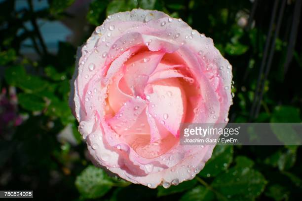 Close-Up Of Wet Pink Rose Blooming Outdoors
