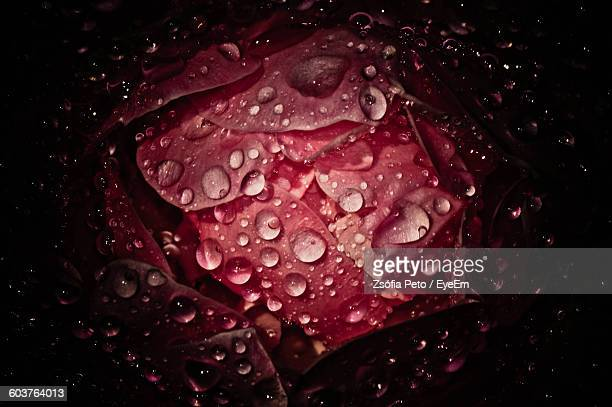 Close-Up Of Wet Red Flower Against Black Background