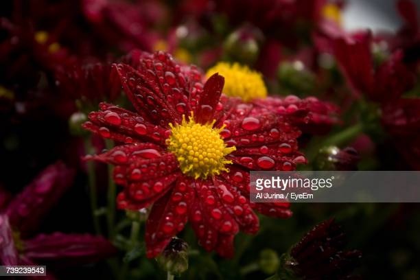 Close-Up Of Wet Red Flower Blooming Outdoors