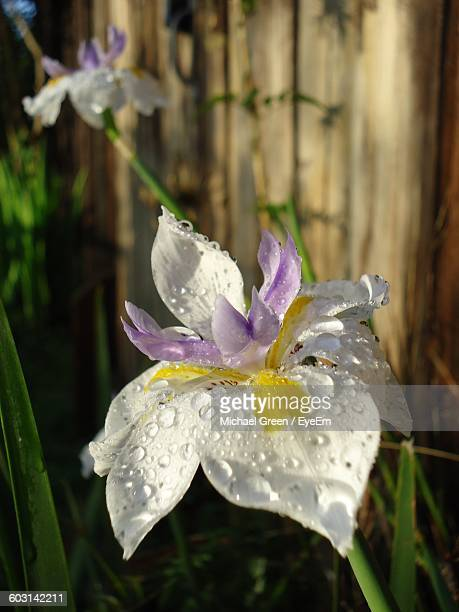 Close-Up Of Wet White Flower Growing On Field