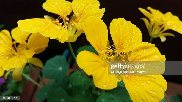 Close-Up Of Wet Yellow Nasturtium Flowers In Blooming