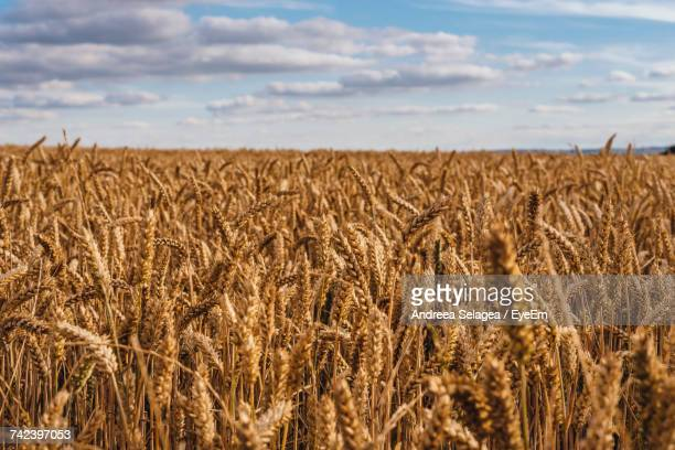 Close-Up Of Wheat Field Against Sky