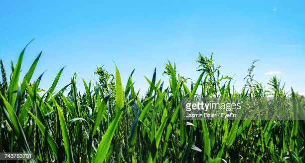 Close-Up Of Wheat Growing On Field Against Clear Sky